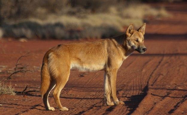 The Australian dingo,  Canis lupus dingo. Image courtesy Angus McNab.