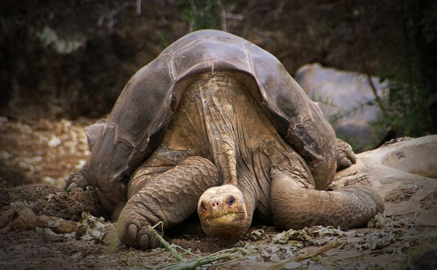 Lonesome George, the last Pinta Island Tortoise. Image:  putneymark [CC-BY-SA-2.0] via Wikimedia Commons