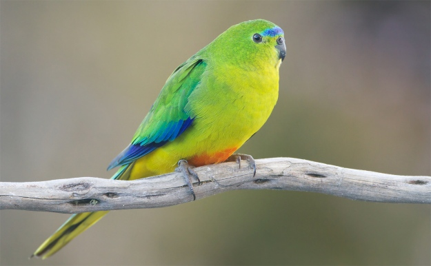 The orange-bellied parrot, Neophema chrysogaster, is one of Australia's most endangered species. Image: JJ Harrison [CC-BY-SA-3.0] via Wikimedia Commons