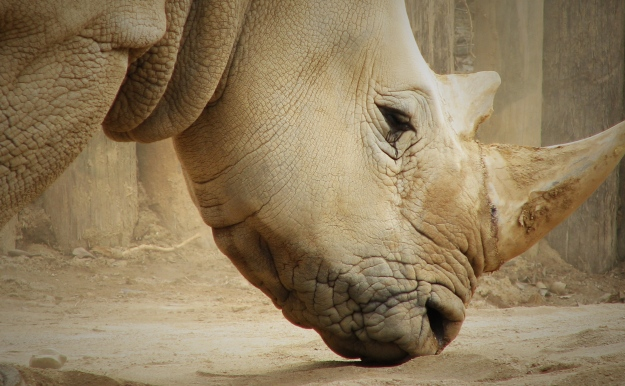 Is the only way to save the rhinos to commodify it? Image by Trisha M Shears [public domain], via Wikimedia Commons