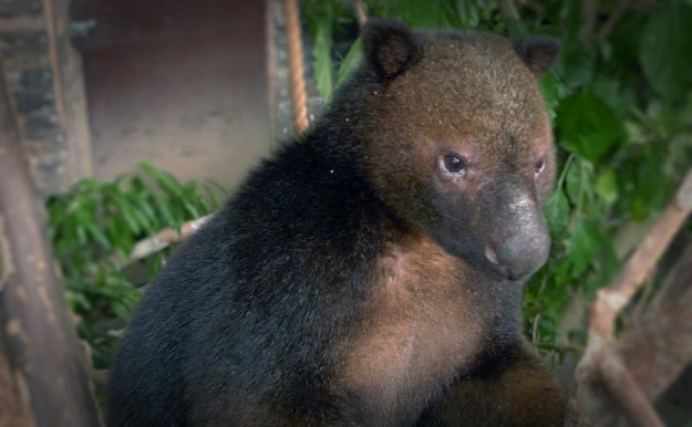 The tenkile, or Scott's tree kangaroo (Dendrolagus scottae). Image: Tenkile Conservation Alliance