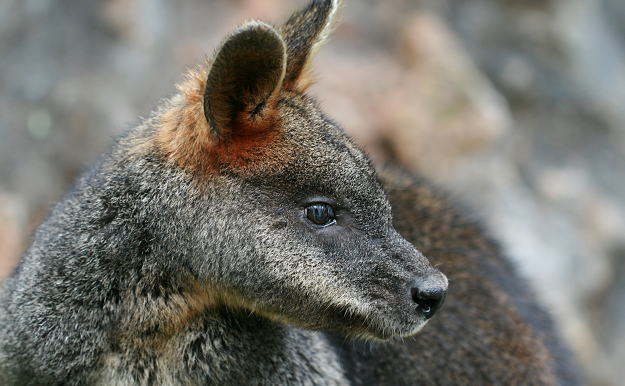 Wilsons Prom is home to native mammals such as the Swamp Wallaby, Wallabia bicolor. Image by Toby Hudson [CC-BY-SA-3.0], via Wikimedia Commons