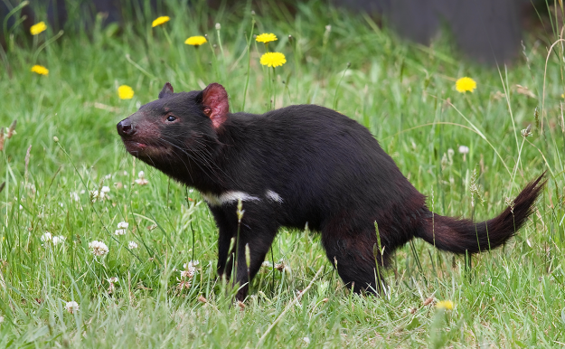 Tasmanian Devils, Sarcophilus harrisii, were once abundant on the Australian mainland. Image by JJ Harrison[CC-BY-SA-3.0], via Wikimedia Commons
