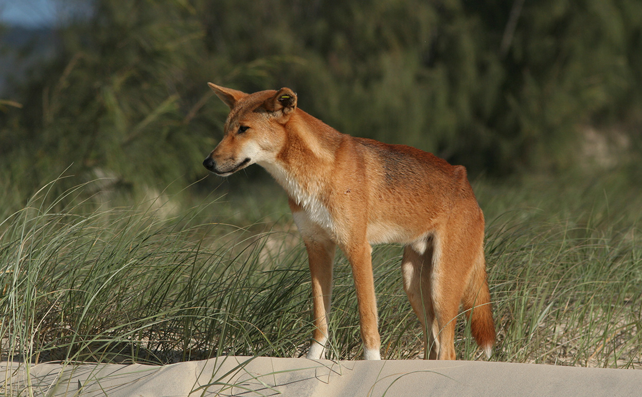 The Fraser Island Dingo is in the news for all the wrong reasons. Image by Glen Fergus [CC-BY-SA-2.5], via Wikimedia Commons