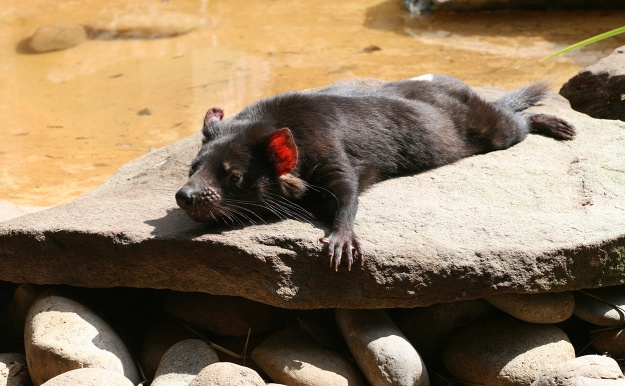 This Tasmanian Devil needs a holiday. How about the mainland? Flickr/sillypucci