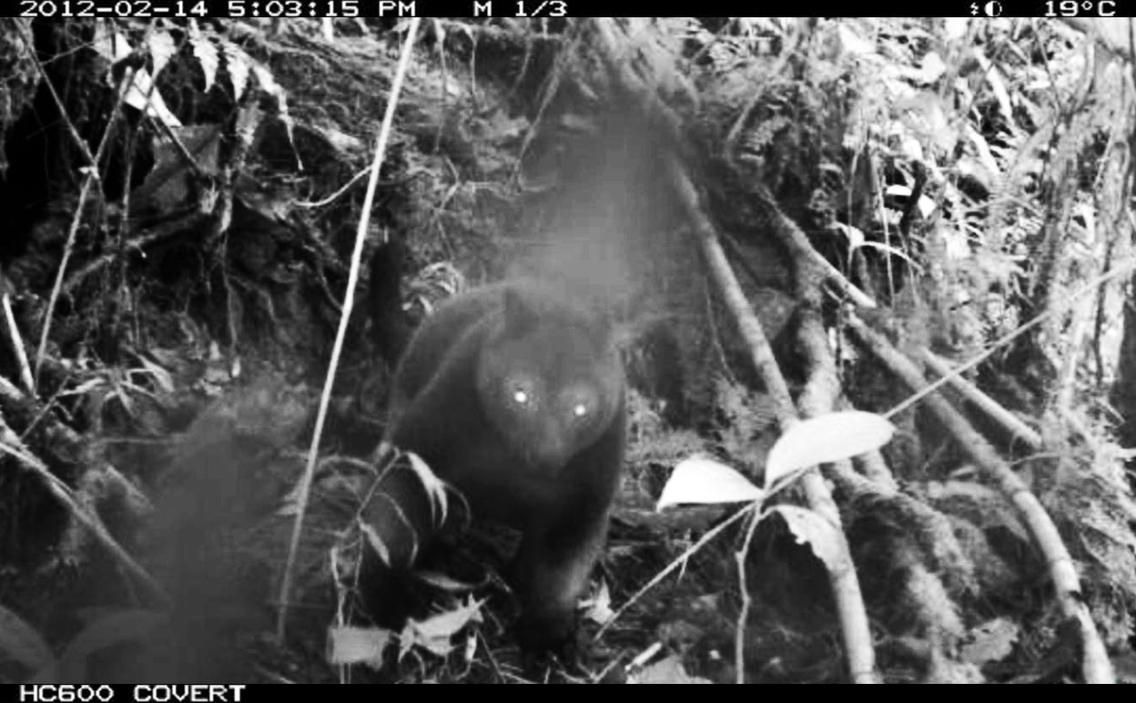 Just how many Tenkile tree kangaroos are left and where are they found? Our cameras will provide these answers Tenkile Conservation Alliance