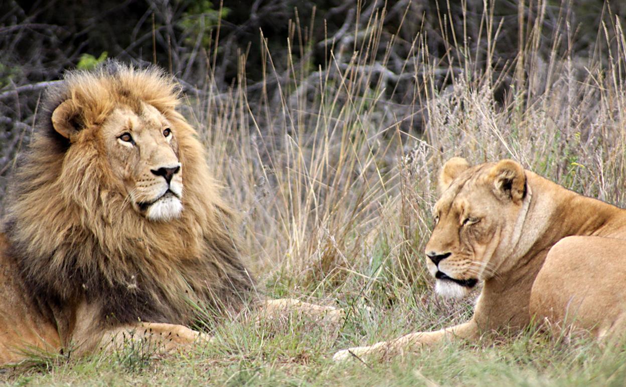 We ain't lion, this predator stuff is a big deal. Image by Derek Keats via Flickr [CC BY 2.0] via Flickr