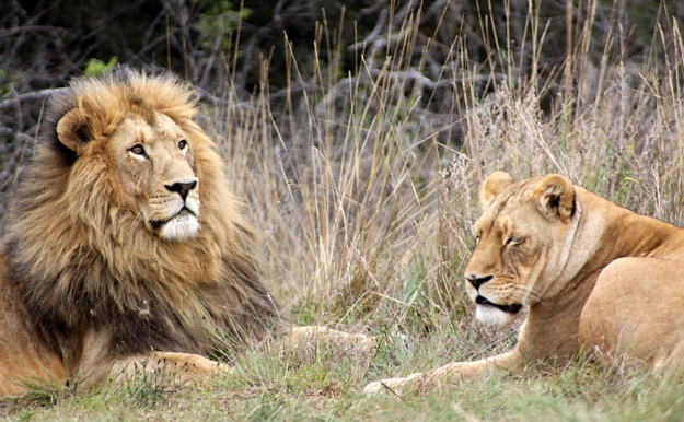 We ain't lion, this predator stuff is a big deal. Image by Derek Keats via Flickr [CC BY 2.0] via Flickr