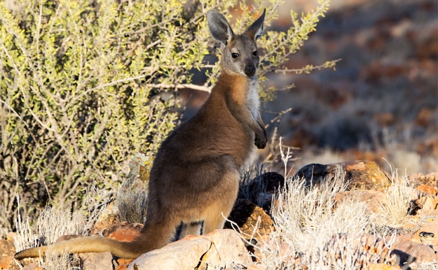 Macropus robustus, Image credit: David Cook Wildlife Photography[CC BY-NC 2.0] via Flickr