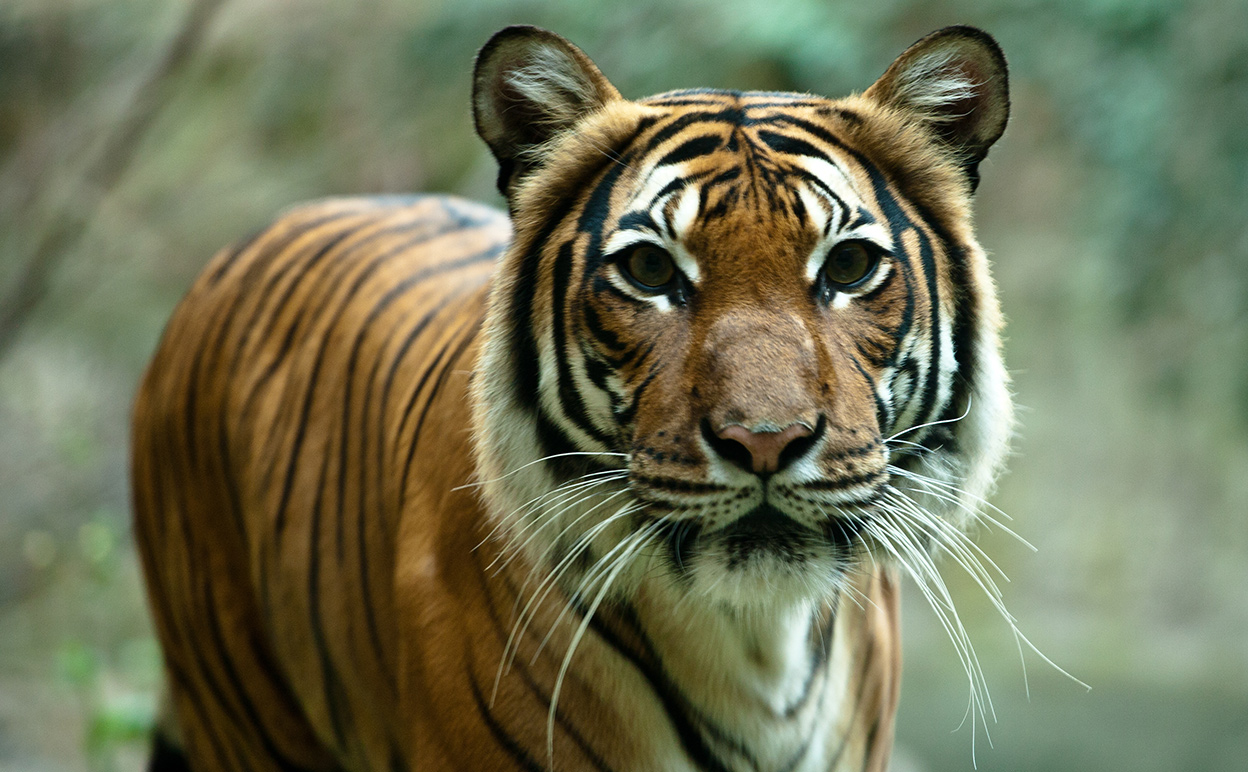 Without tigers, our ecosystems will suffer. Image by Sascha Kohlmann [CC-BY-SA 2.0] via Flickr