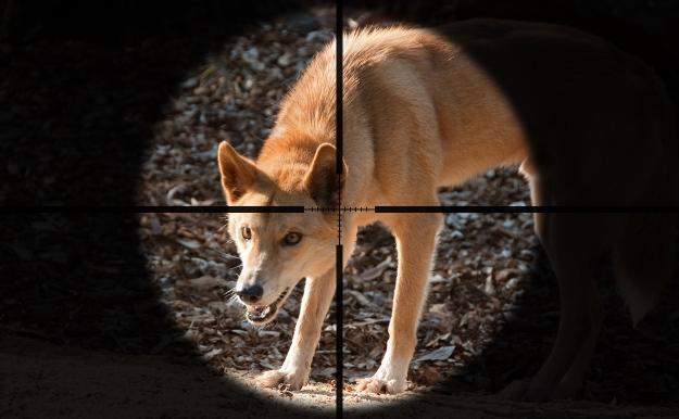 Dingo-crosshairs