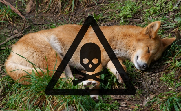 Dingo-poison-1080
