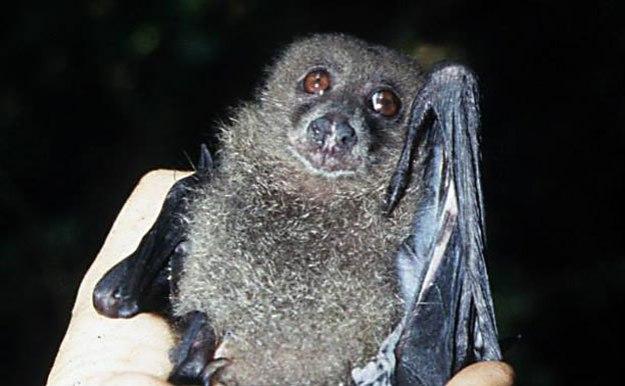 New Georgian Monkey-faced Bat (Pteralopex taki), endemikc to the Solomon Islands.
