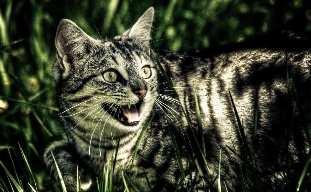 Feral cats are decimating native wildlife. Could the introduction of apex predators be part of the solution? Image credit Timo via Flickr.