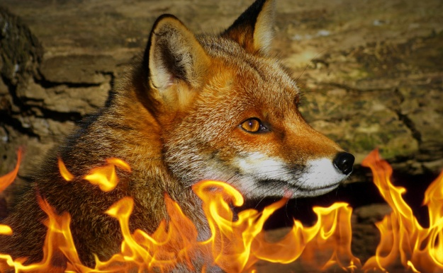 We examined the influence of fire on the distribution of introduced red foxes in semi-arid Australia. Image credit Area51Bel [CC-BY-SA 3.0] via Wikimedia Commons.