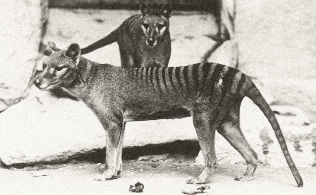 he thylacine is just one of Australia's mammals to disappear since European settlement. Image credit: Wikimedia Commons