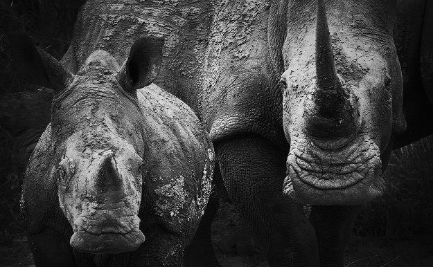 What if the only rhinos left in the world existed in zoos? Or horn factories? Image credit: Steve Evans via Flickr