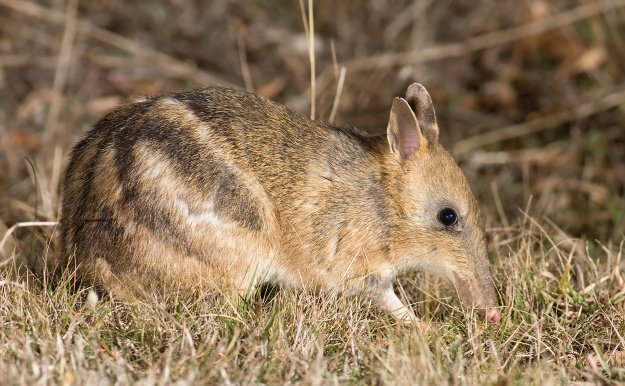 Eastern barred bandicoots persist only in captivity or within fox-free nature reserves. Image credit JJ Harrison via Wikimedia Commons