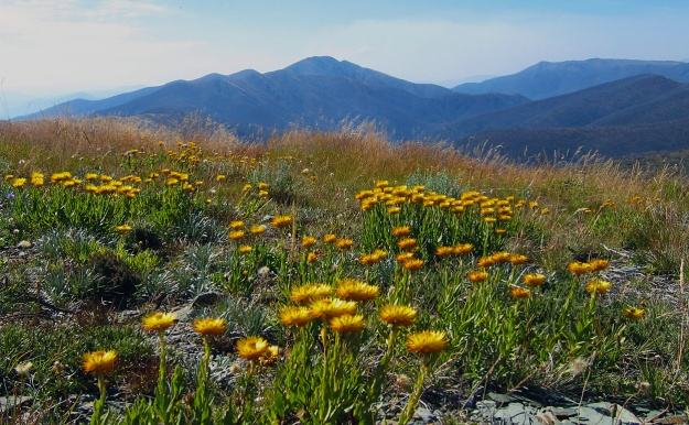 Everlastings in the Australian Alps. But will they be? Image credit: John O'Neill via Wikimedia Commons