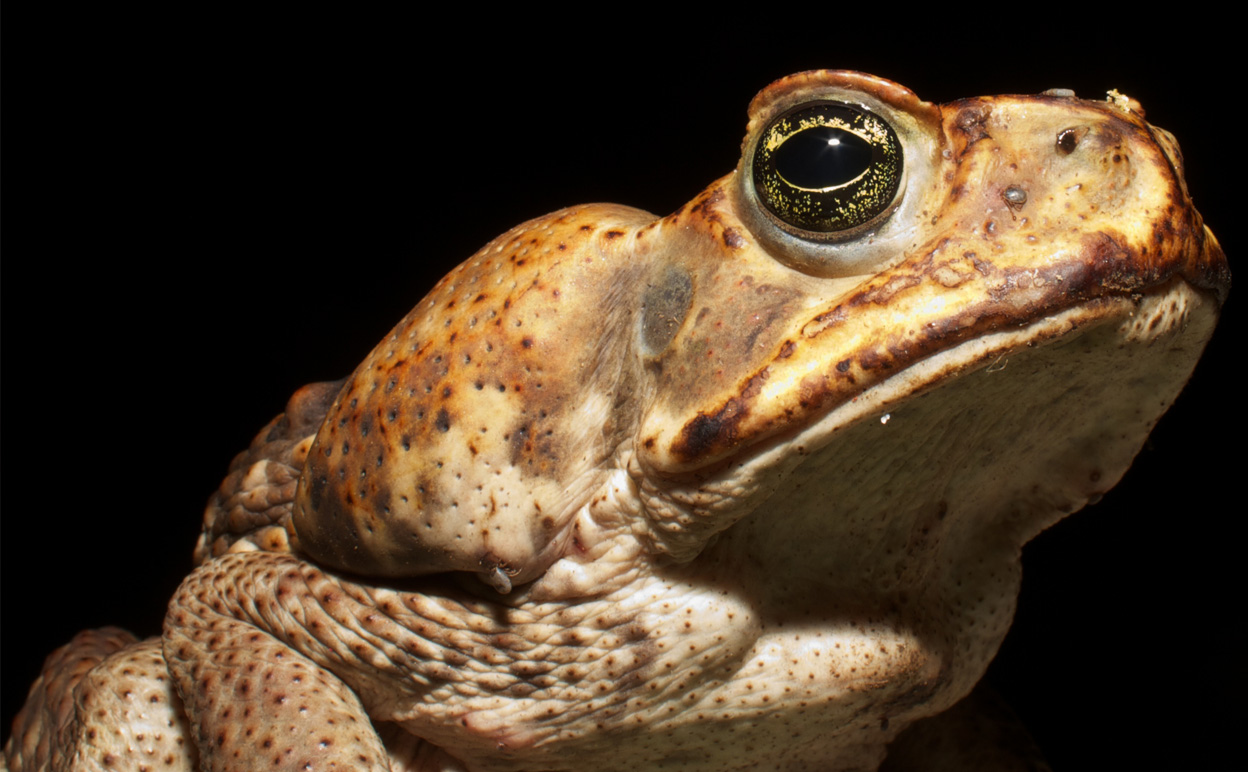 Nutritious, delicious... cane toad!? Image credit Brian Gatwicke via Wikimedia Commons