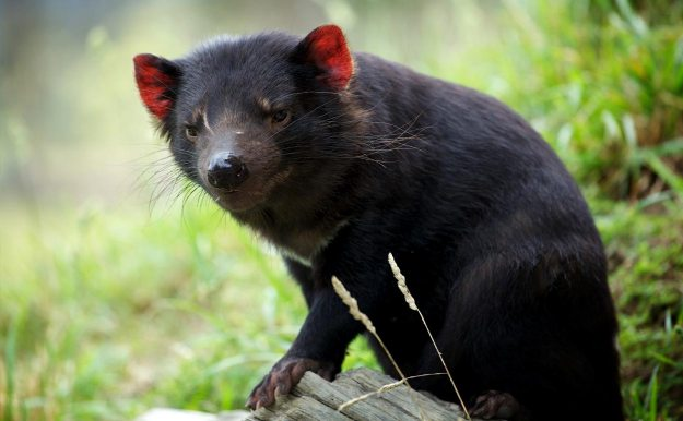 Tasmanian Devils could return to mainland Australia in the name of conservation. Image credit Duncan Rawlinson via Flickr