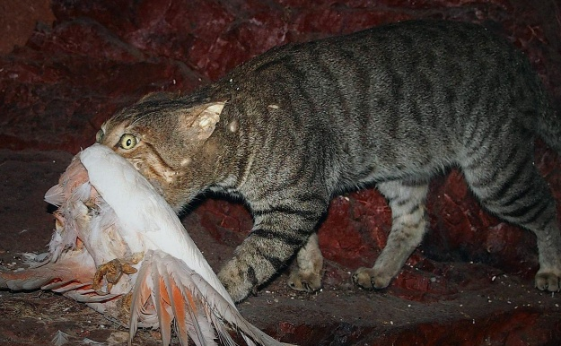 Feral cats are a major driver of global biodiversity loss, contributing to 26% of bird, mammal and reptile extinctions. Image credit: Mark Marathon via Wikimedia Commons