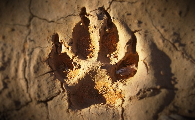 dingofootprint